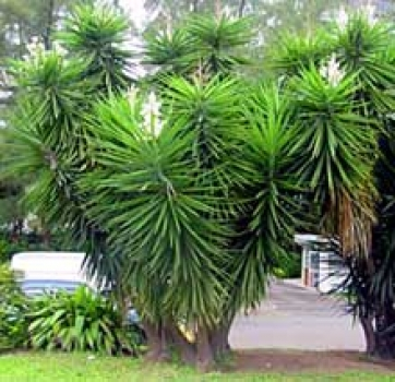 botanikshop yucca aloifolia. Black Bedroom Furniture Sets. Home Design Ideas